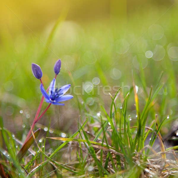 Prímula flor grama verde primavera folha verão Foto stock © All32