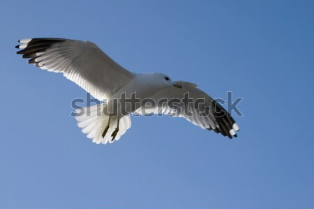 Beautiful seagull in flight Stock photo © All32