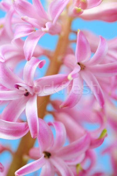 Pembe sümbül çiçekler mavi çiçek güzellik Stok fotoğraf © All32