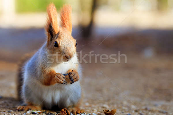 Beautiful red squirrel Stock photo © All32