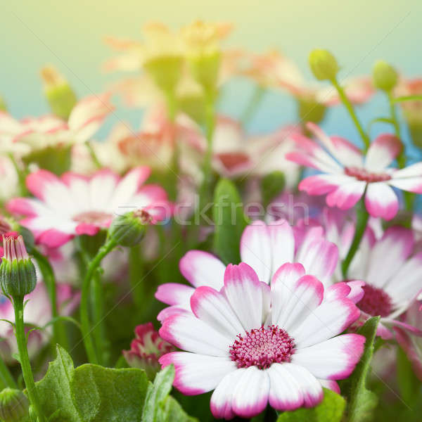 Flowers marguerites Stock photo © All32