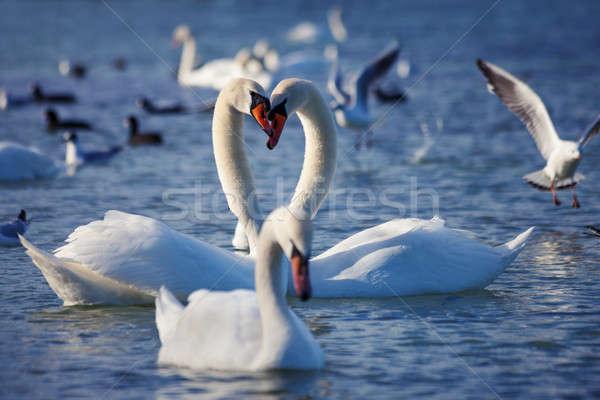 White swans Stock photo © All32