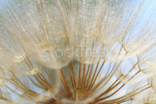 Seeds of a dandelion closeup Stock photo © All32