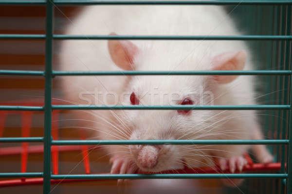 Beyaz sıçan kafes yüz doğa güzellik Stok fotoğraf © All32