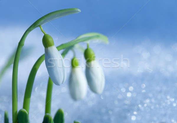 Ilk çiçek yaprak kar yeşil kafa Stok fotoğraf © All32