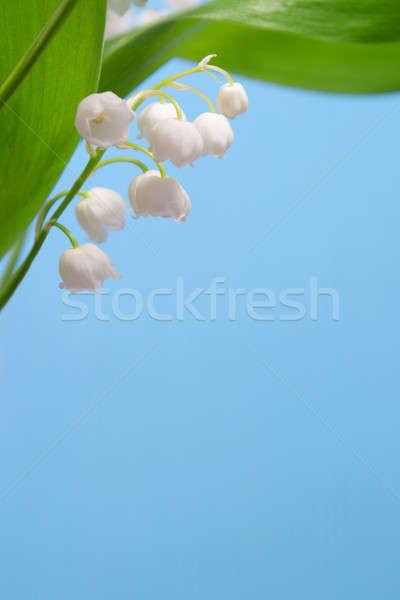 красивой цветы Лилия долины зеленые листья синий Сток-фото © All32