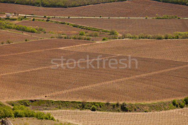 Fields with grapevine Stock photo © All32