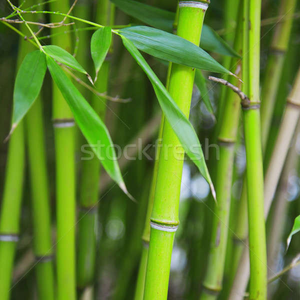 A bamboo grove Stock photo © All32