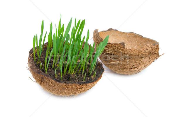 Grama verde crescente rachado coco isolado branco Foto stock © All32