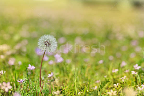 Dandelion Stock photo © All32