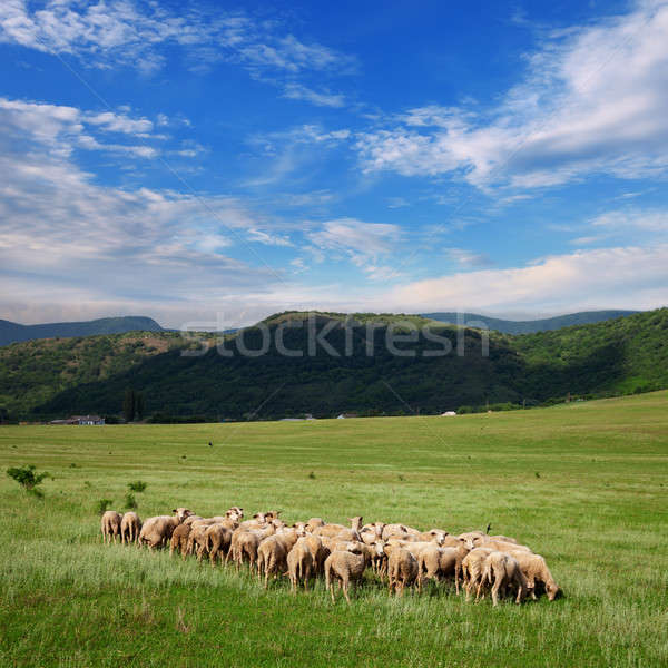 Herd of sheep grazing on pasture Stock photo © All32