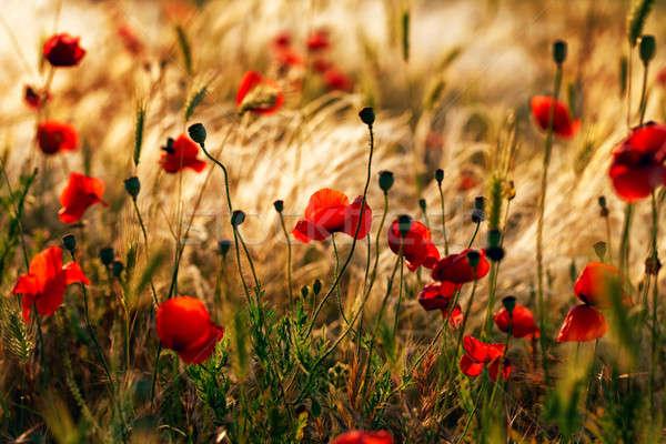 Rojo amapolas secar hierba puesta de sol verano Foto stock © All32