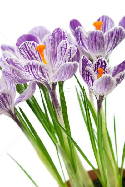 Crocus fiori isolato bianco primavera giardino Foto d'archivio © All32
