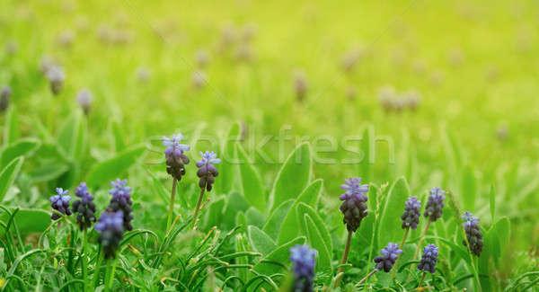Blauw hyacint bloemen mooie groen gras natuur Stockfoto © All32