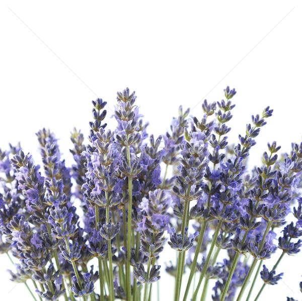 Paars lavendel bloemen geïsoleerd witte bloem Stockfoto © All32