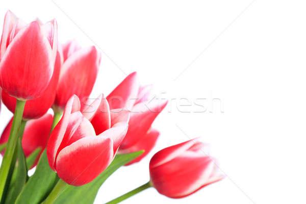 Mooie Rood tulpen geïsoleerd witte Pasen Stockfoto © All32
