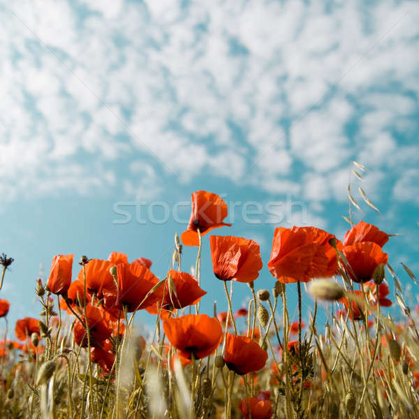 Red poppies  Stock photo © All32