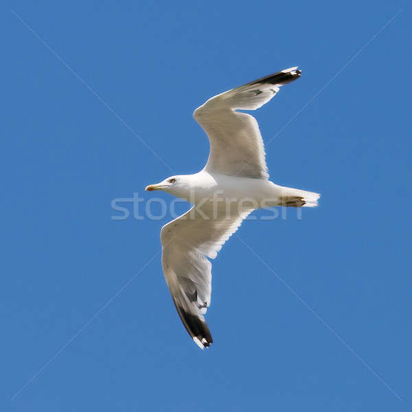 Seagull on the blue sky background Stock photo © All32