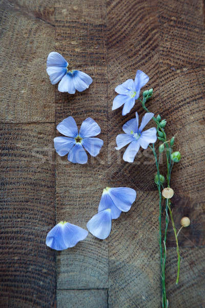Blue flowers of flax  Stock photo © All32