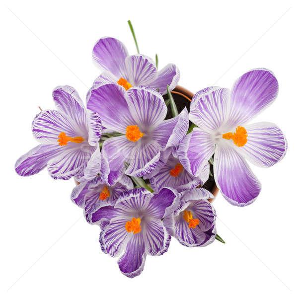 Açafrão flores isolado branco primavera jardim Foto stock © All32