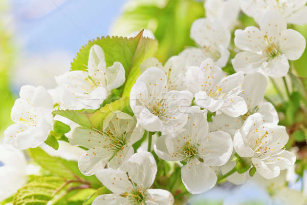 Cherry blossoms with green leaves Stock photo © All32