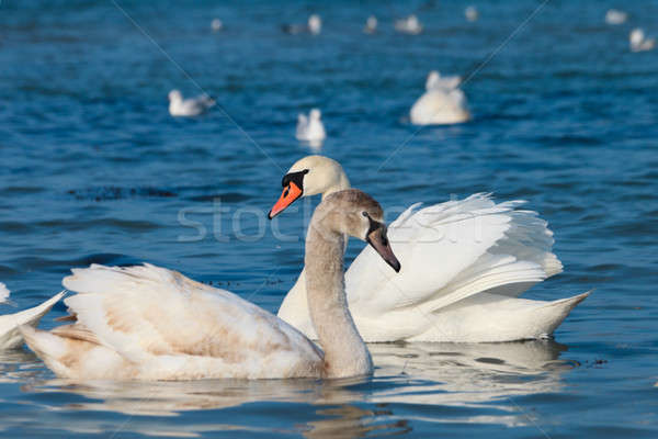 Beautiful white swans Stock photo © All32