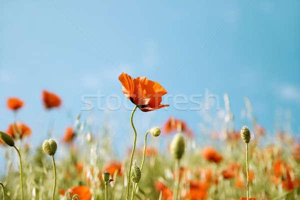 Belle fleurs rouge pavot floue printemps Photo stock © All32