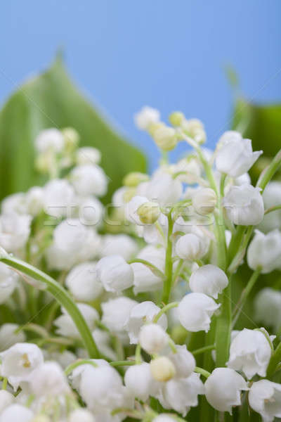 Flower lily of the valley  Stock photo © All32
