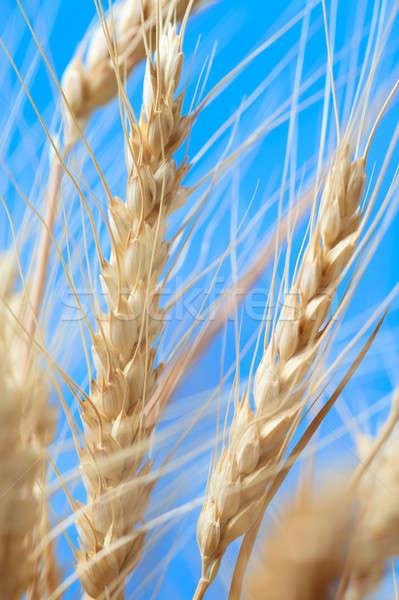 Tarwe oren Blauw natuur achtergrond oor Stockfoto © All32