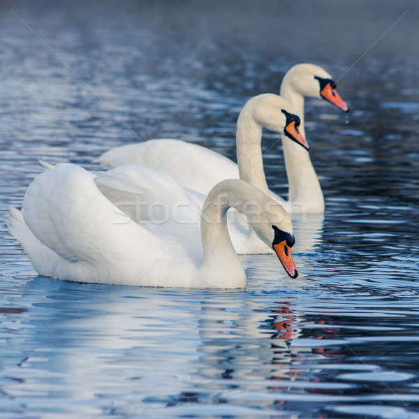 Floating in the water swans Stock photo © All32