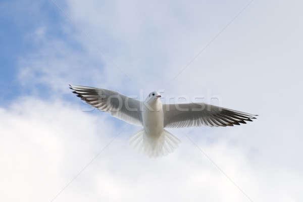 Repülés sirály égbolt fény szépség óceán Stock fotó © All32