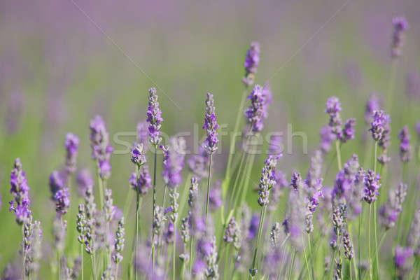 Kwitnienia lawendy puszka używany kwiat Zdjęcia stock © All32