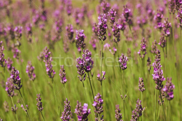 Lavender sprigs on the green Stock photo © All32