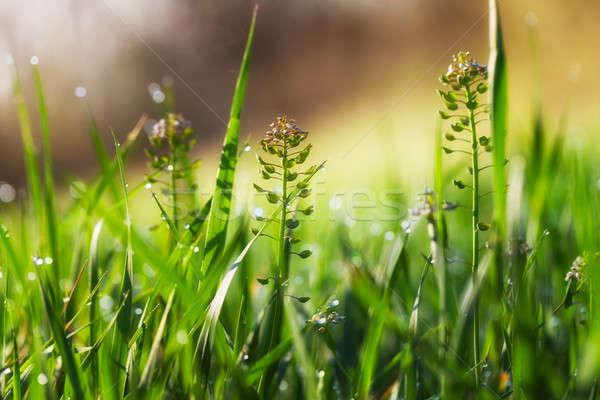 Vad virágok napsütés puha elmosódott virág fű Stock fotó © All32