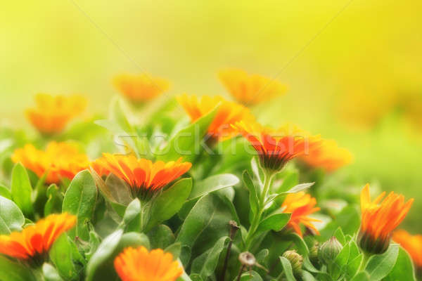 Marigold flowers Stock photo © All32