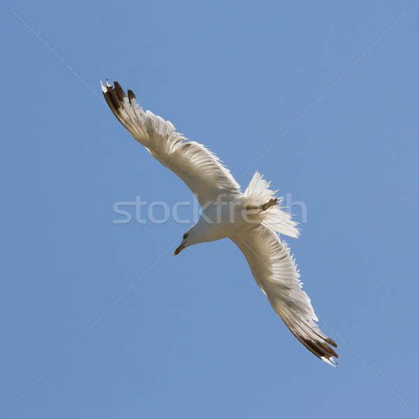 Stock photo: Seagull