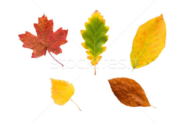 Colorful autumn leaves. Stock photo © All32