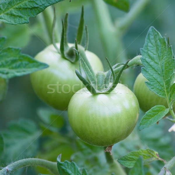 Vert tomate branche nature été groupe Photo stock © All32