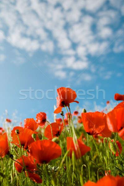 Rood klaprozen blauwe hemel wolken voorjaar natuur Stockfoto © All32