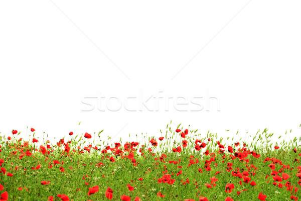 Rood klaprozen groen gras geïsoleerd witte gras Stockfoto © All32