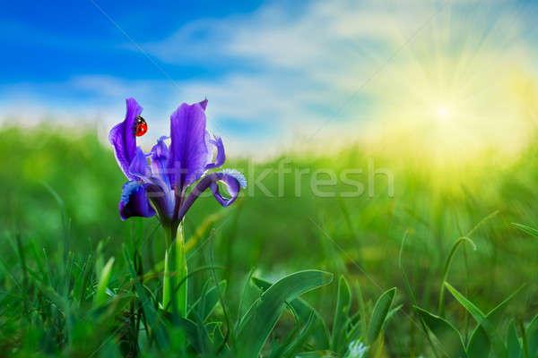Coccinelle fleur bleue herbe verte ciel soleil fleur Photo stock © All32