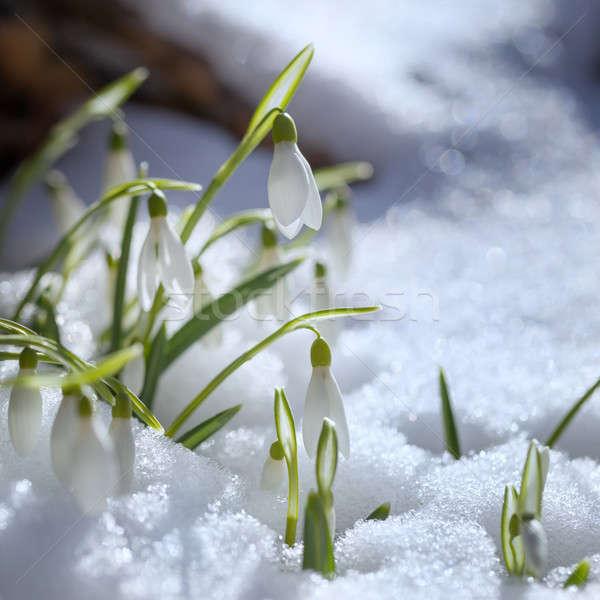 первый весны природы фон зеленый зима Сток-фото © All32