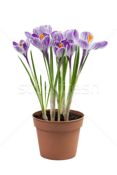 Crocus flowers  Stock photo © All32