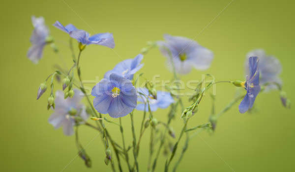 Bouquet of flax flowers Stock photo © All32