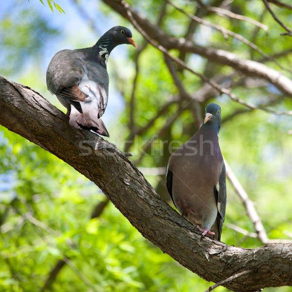 Wild pigeons (Streptopelia) Stock photo © All32