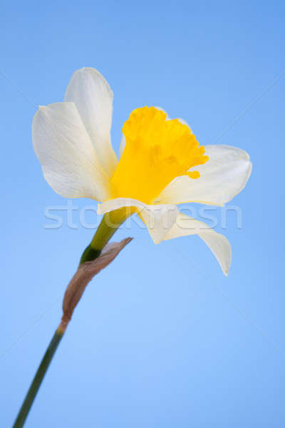 Narcissus flower Stock photo © All32