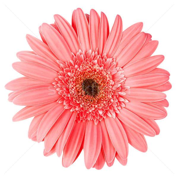 Roze geïsoleerd witte bloem voorjaar Stockfoto © All32