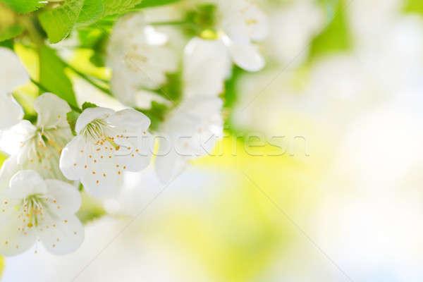 Stock photo: Beautiful cherry blossoms