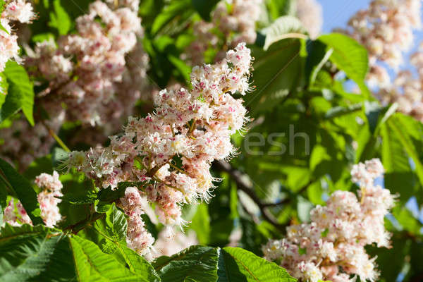 çiçekli kestane yeşil yaprakları ağaç doğa Stok fotoğraf © All32