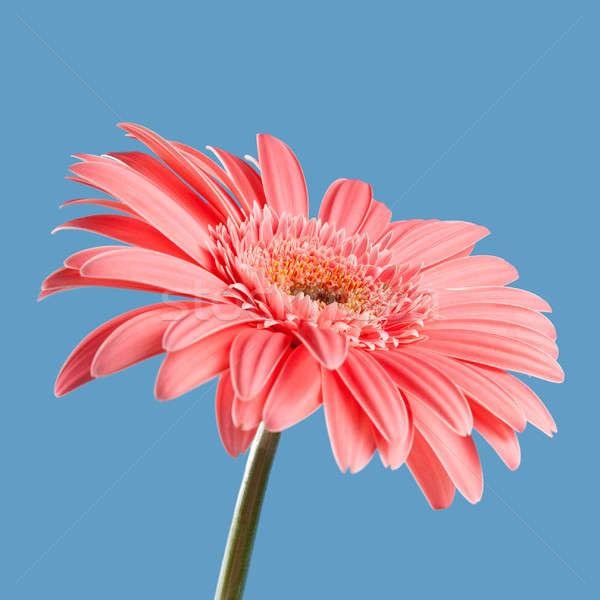 Pink gerbera Stock photo © All32